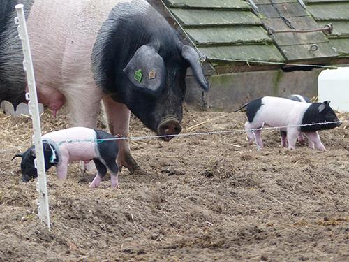 Schweine und Ferkel
