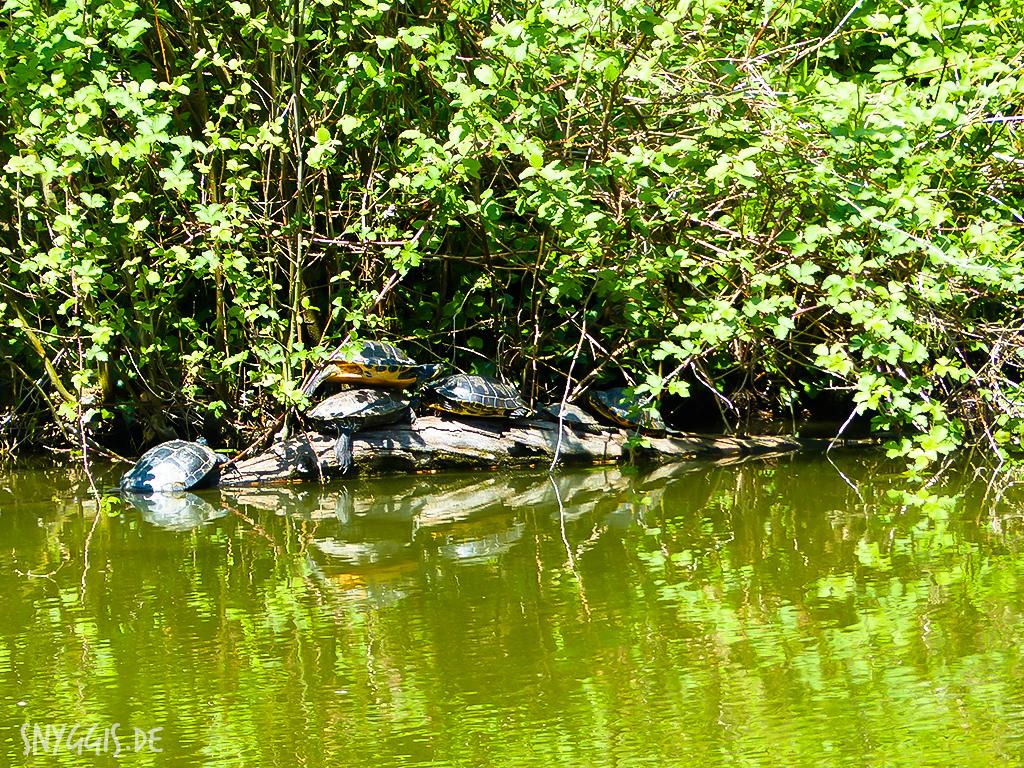 Schildkröten im Teich