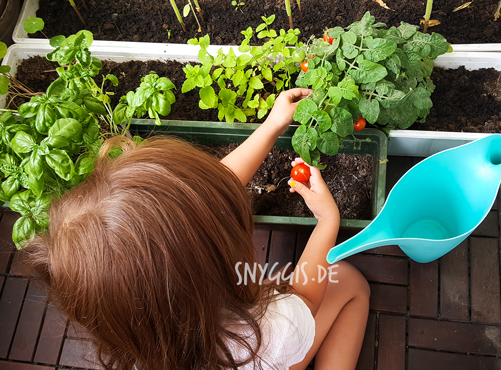 Tomaten ernten auf Balkonien