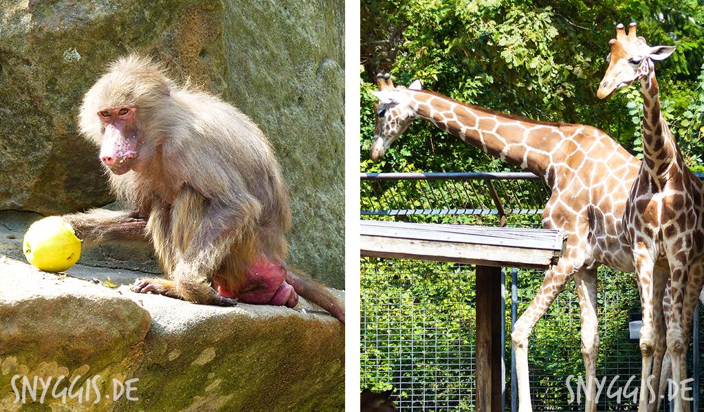 Affen und Giraffen