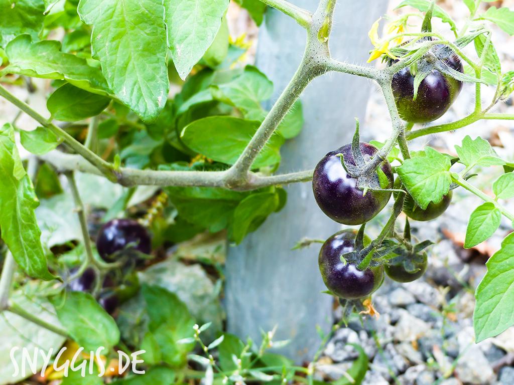 schwarz/lila farbene Tomaten am Wegesrand