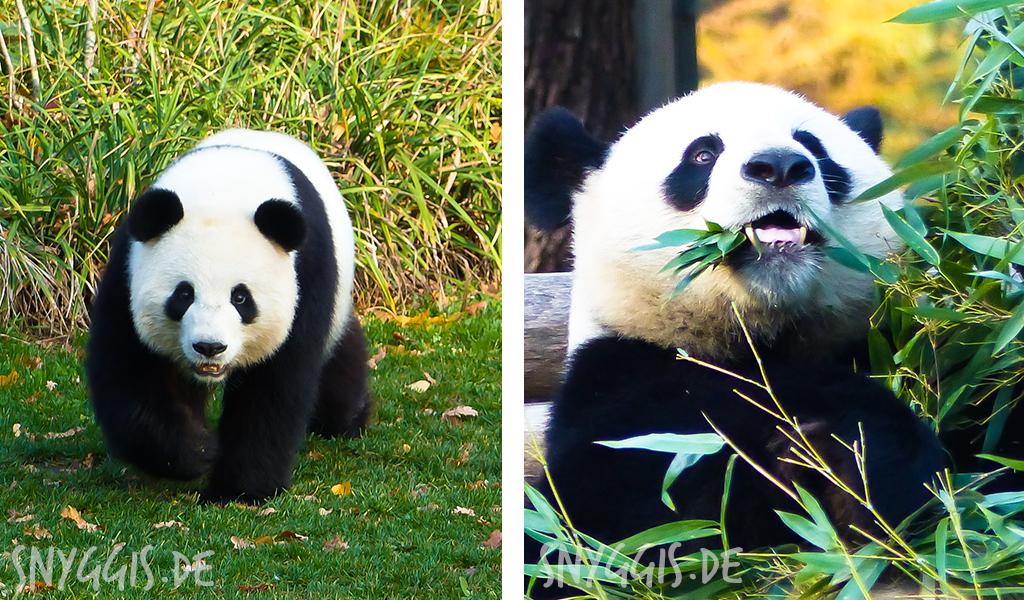 die beiden Pandas im Berliner Zoo