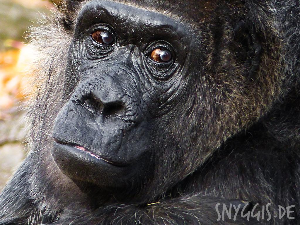 Gorilladame Fatou
