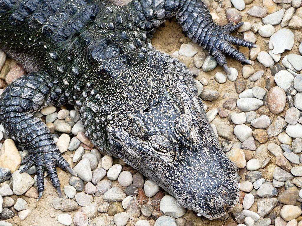 Krokodil ganz nah