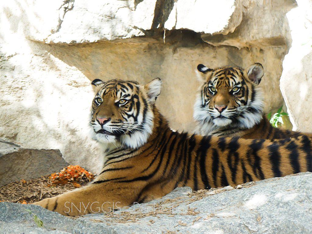 Tiger-in-der-Außenanlage