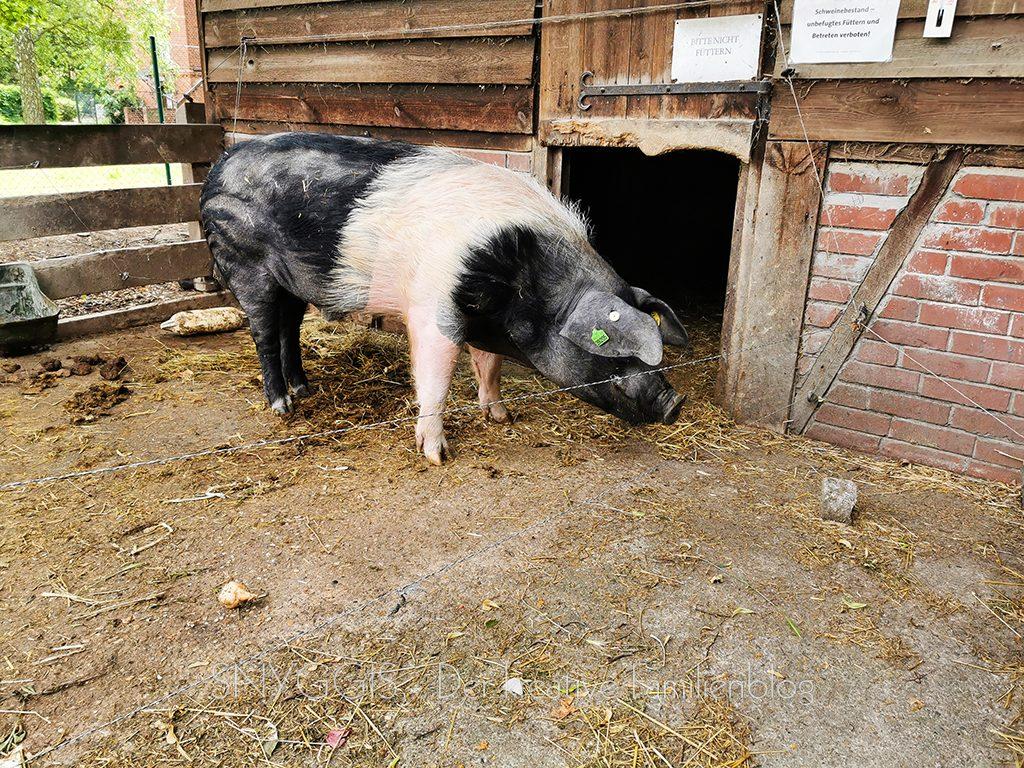 Schweine-gucken