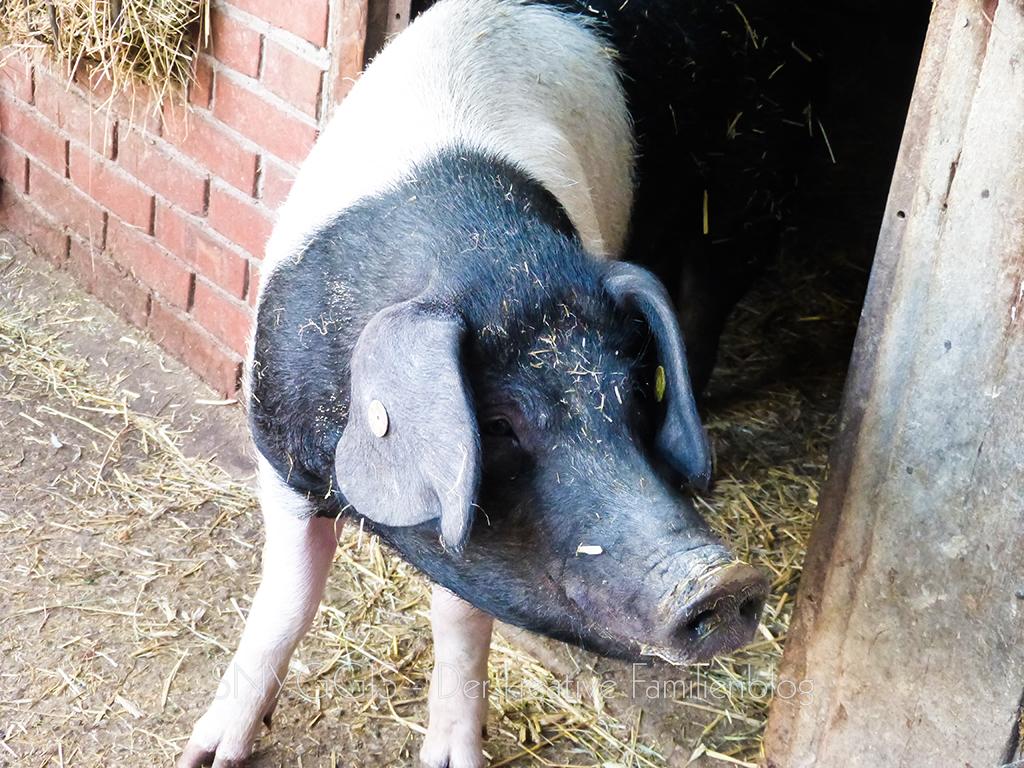 Schweinchen-kommt-aus-dem-Stall