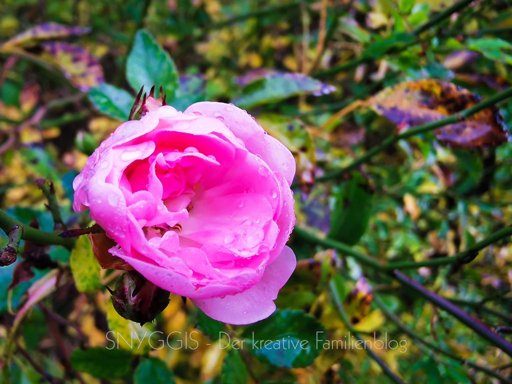 noch-ne-Rose