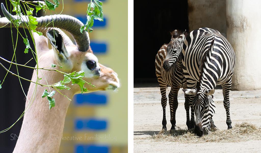 Gazelle-und-Zebra